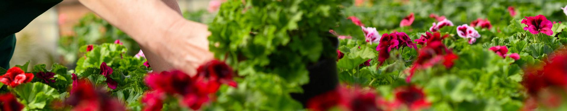 regionaler_umweltfreundlicher_nachhaltiger_anbau_zierpflanzen